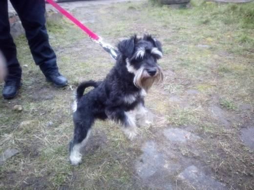 Pies znaleziony na ulicy Sikorskiego w Drawsku Pomorskim