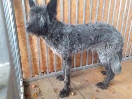 Znaleziono psa! Gudowo - Drawsko Pomorskie